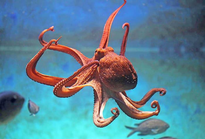 pieuvre poulpe
