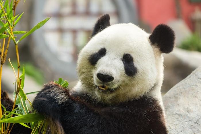 image animaux panda