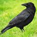 Animal Totem Corbeau