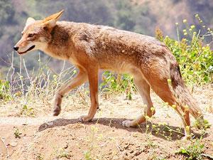 Animal Totem Coyote