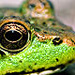 Animal Totem Grenouille
