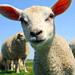 Animal Totem Mouton