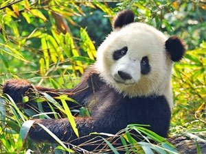 Animal Totem Panda