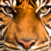 Animal Totem Tigre